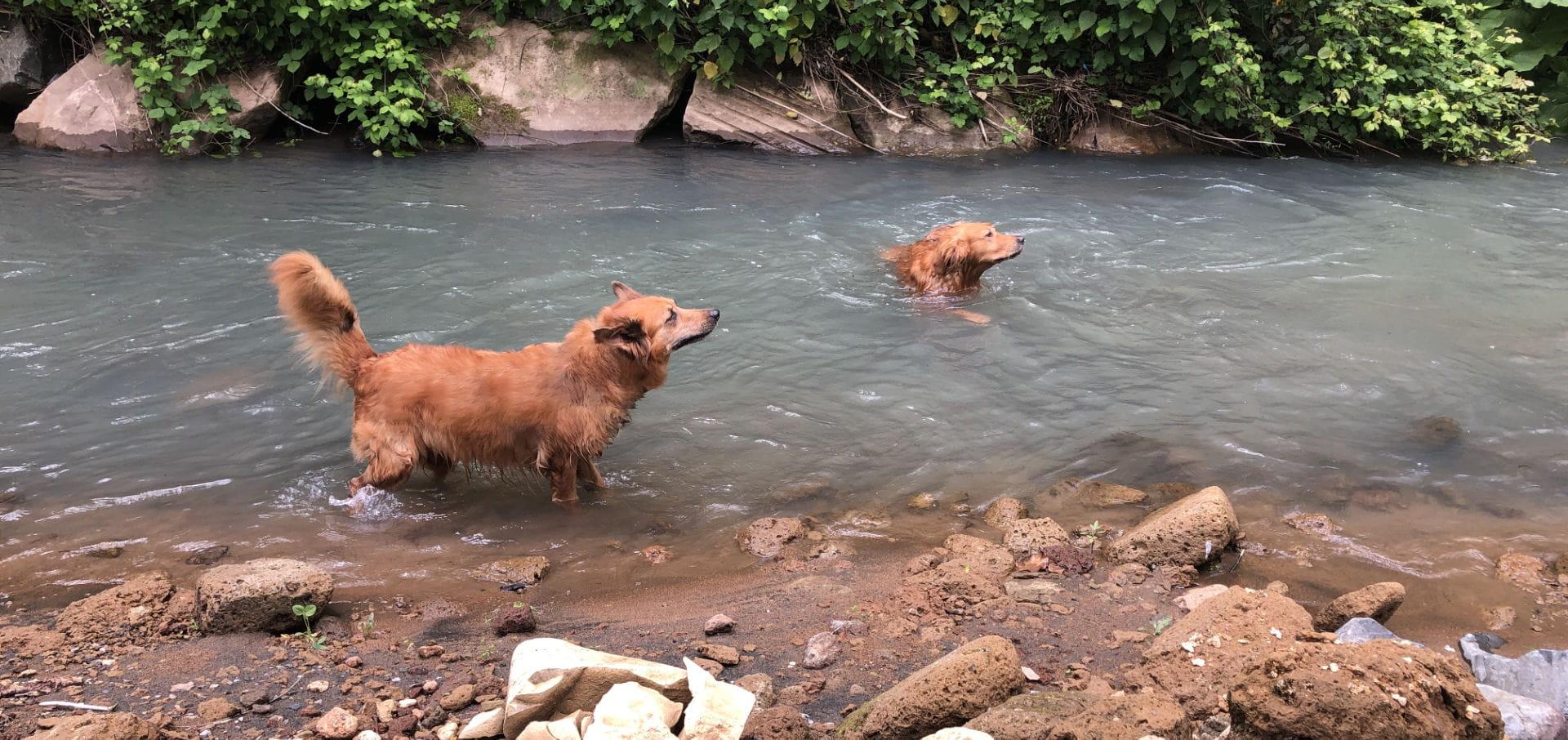 Zwei Hunde Im Fluss